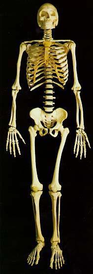 skeleton2.jpg
