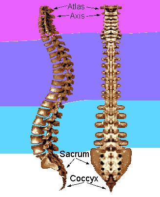 vertebralcolumn.jpg